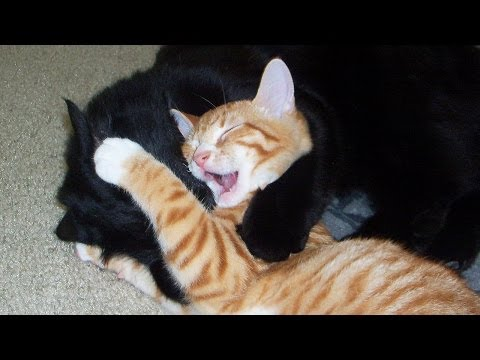 UFC: Ultimate Fighting Cats!